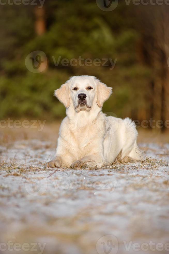 cão jovem retriever dourado na floresta foto