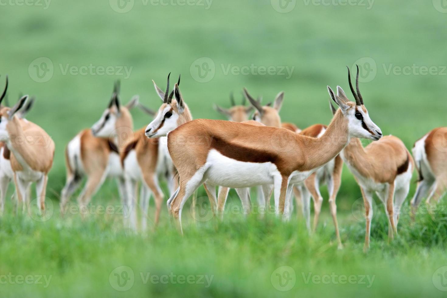 antílopes da gazela foto