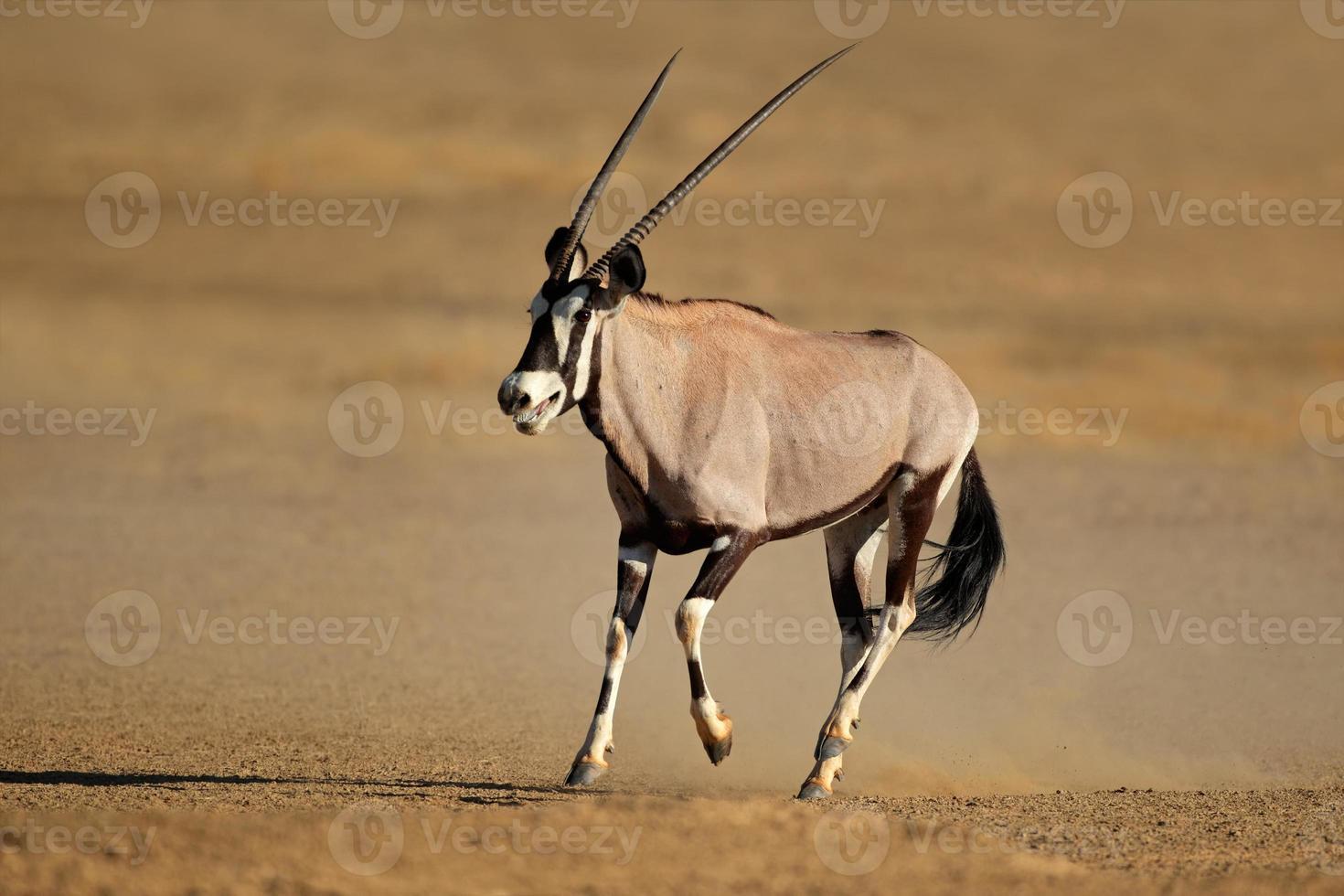 antílope gemsbok em execução foto