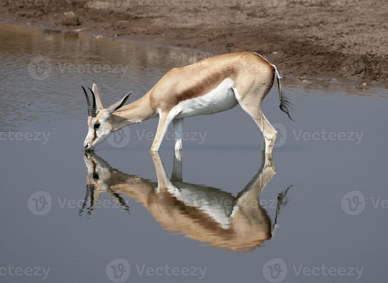 gazela foto