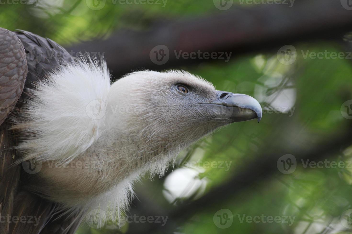 abutre-grifo (gyps fulvus) foto
