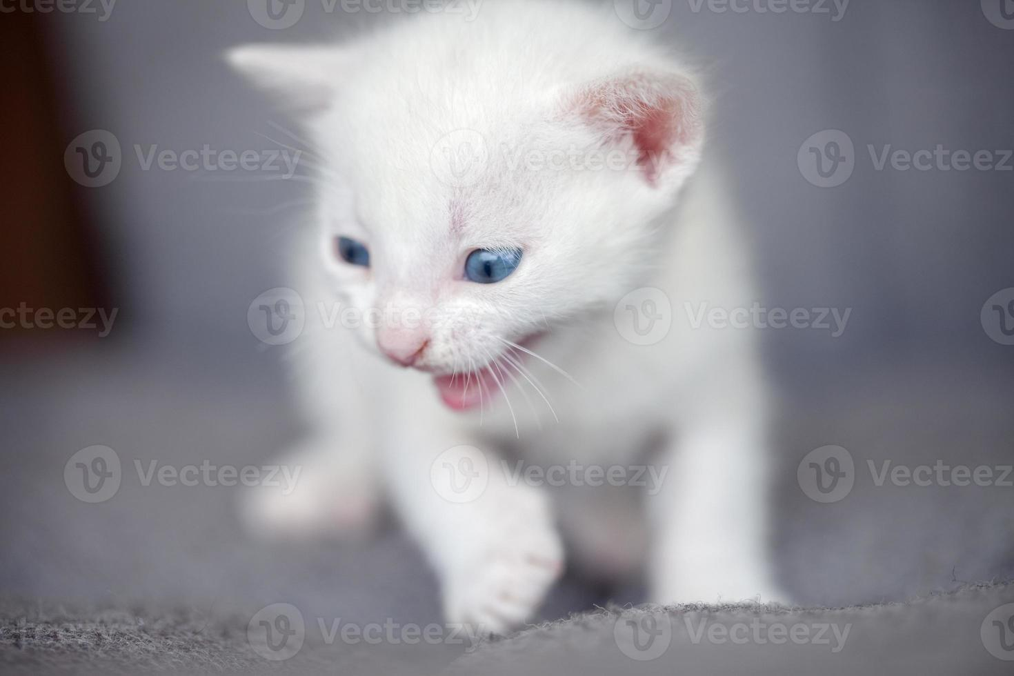 gatinho branco rosnando foto