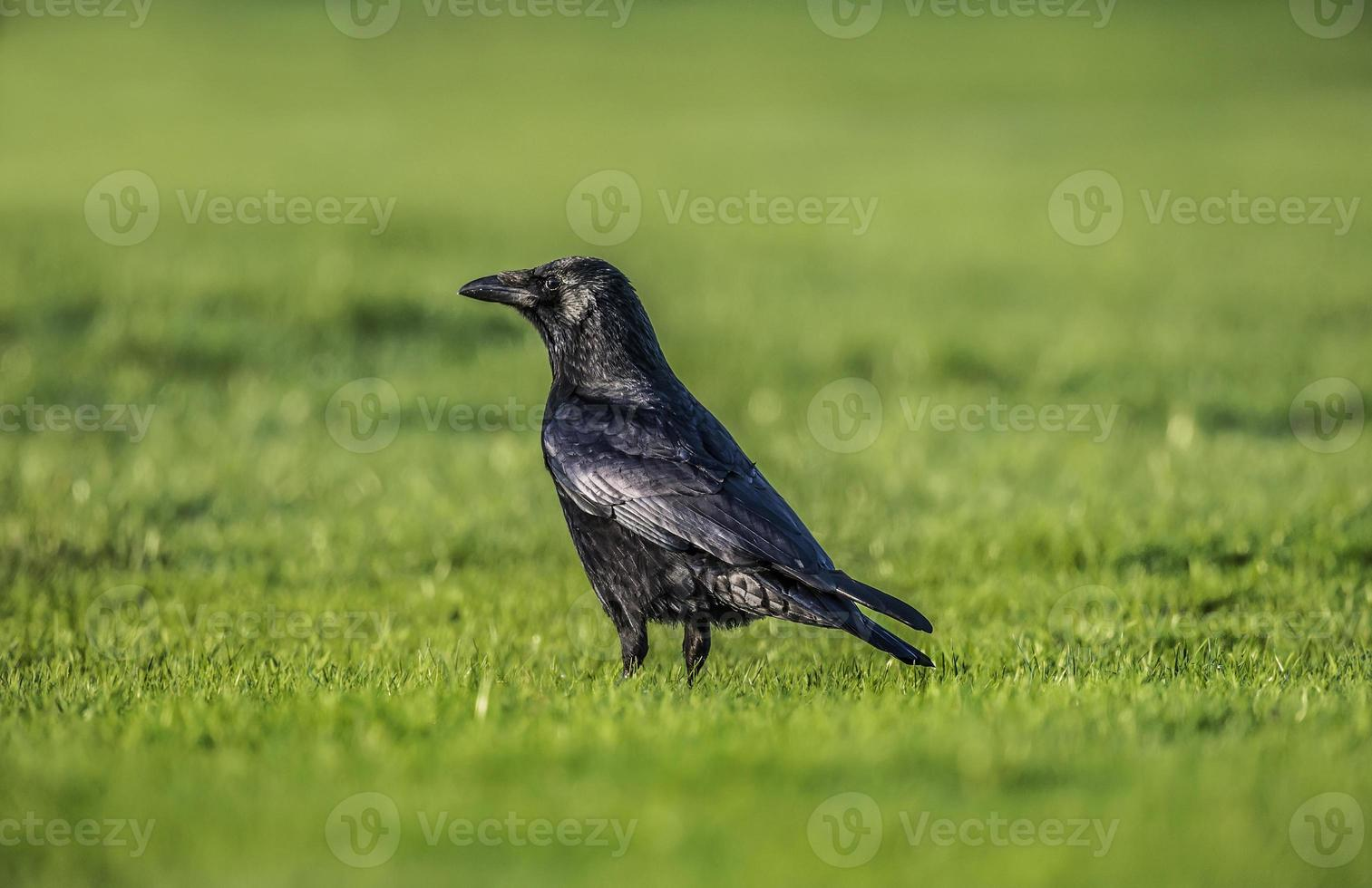 corvo na grama foto