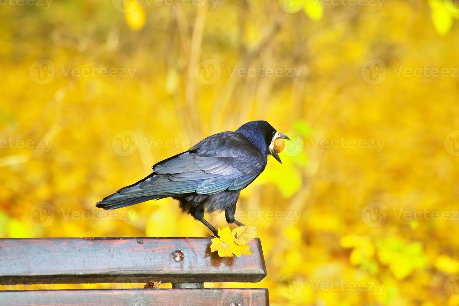 corvo negro sentado no banco foto
