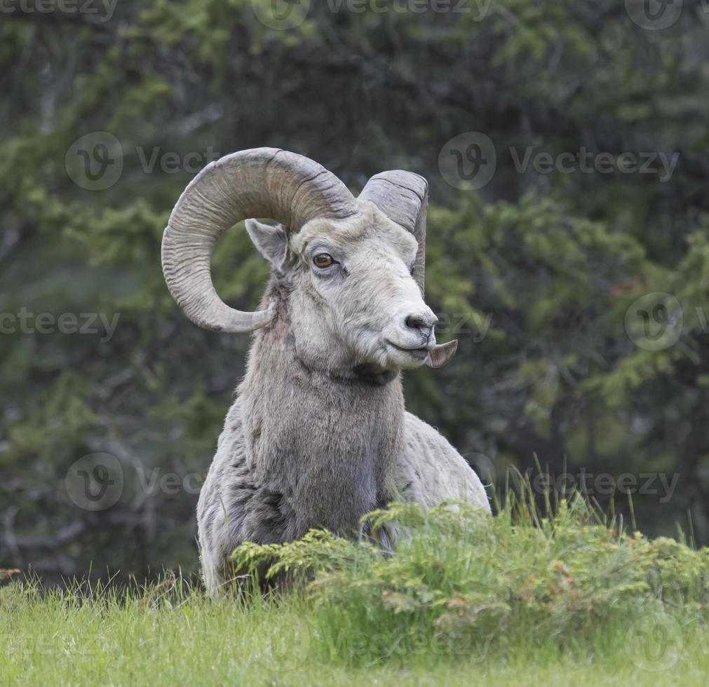 observação de carneiro selvagem foto