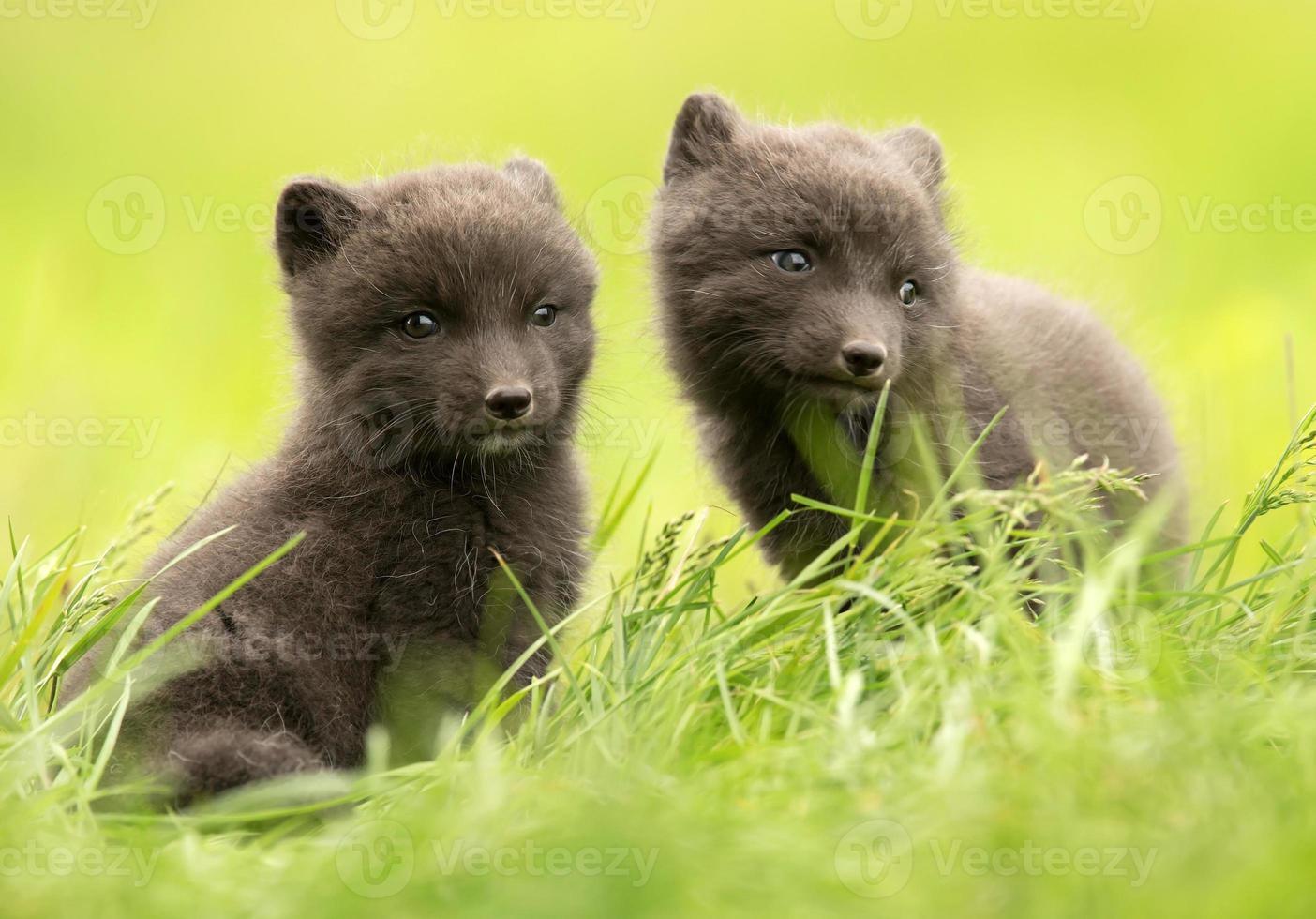 close-up, de, raposa ártica, vulpes, lagopus, filhotes foto