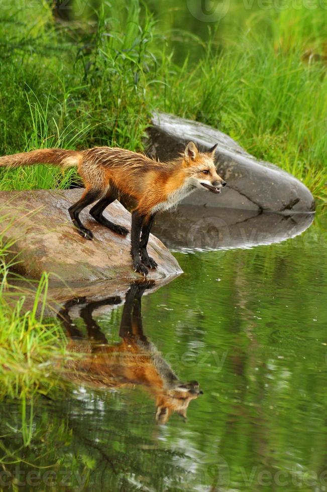 reflexos de água de raposa vermelha em pé sobre uma rocha. foto