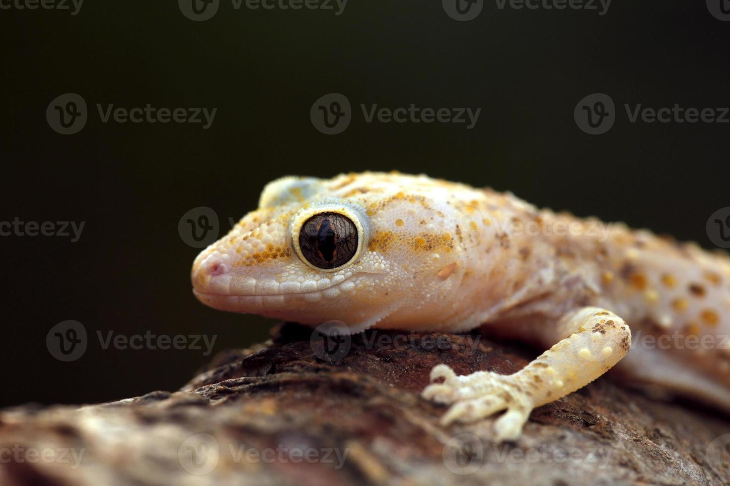 lagarto de parede manchado rosa foto