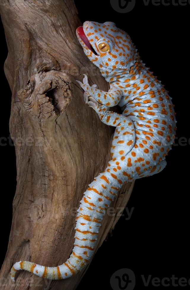 lagartixa tokay em madeira flutuante foto