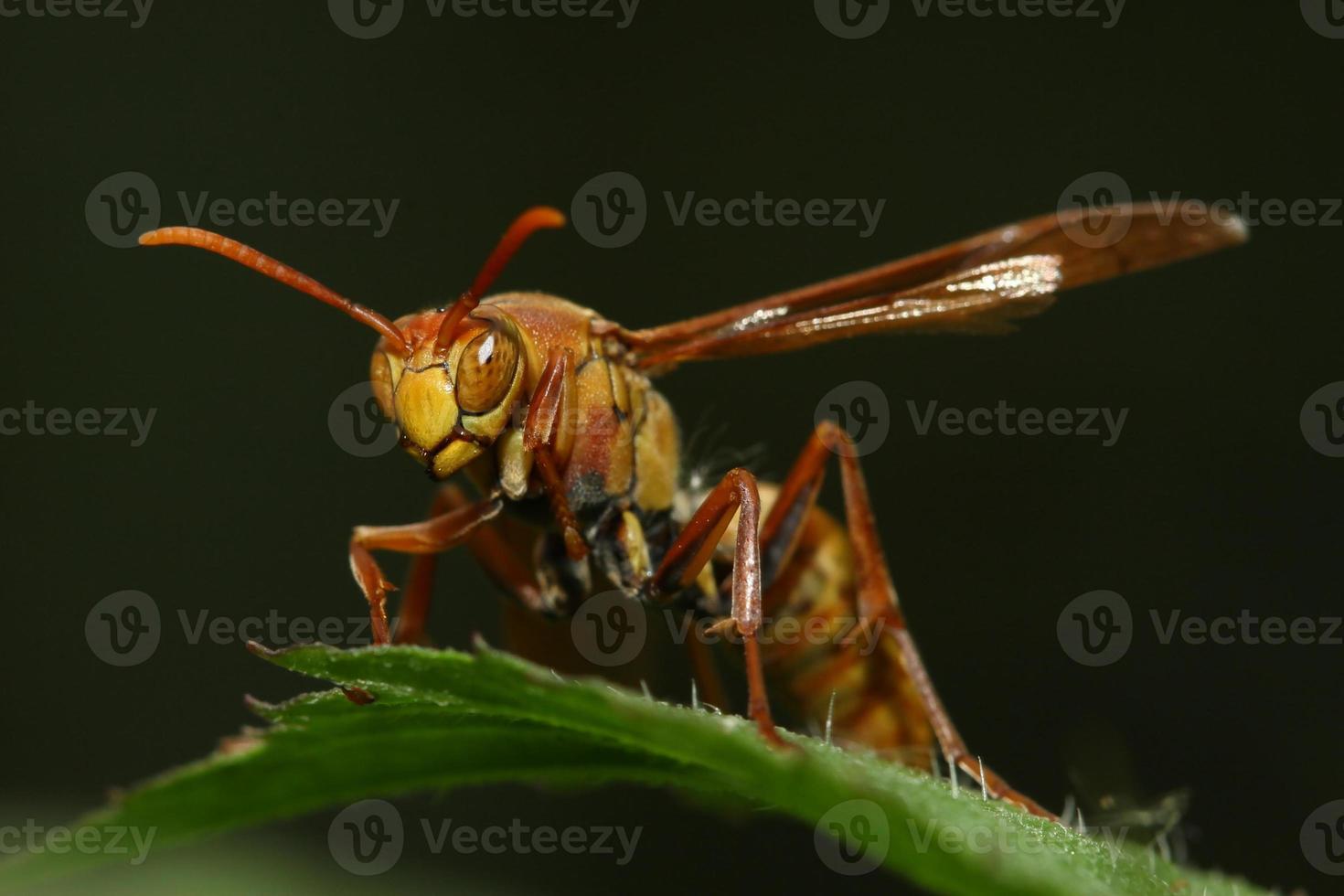 olho de vespa foto