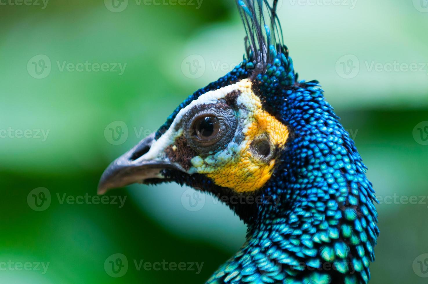 pavão verde foto