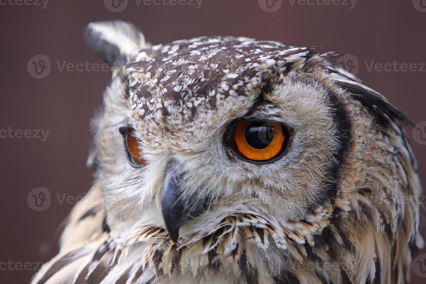 coruja de águia de Bengala foto