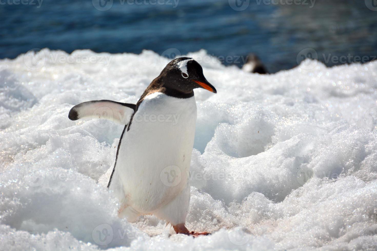 pinguim gentoo está indo para a cidade foto