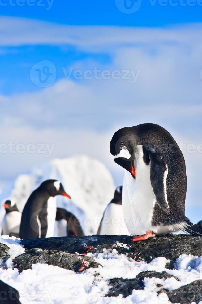 pinguins em uma rocha foto