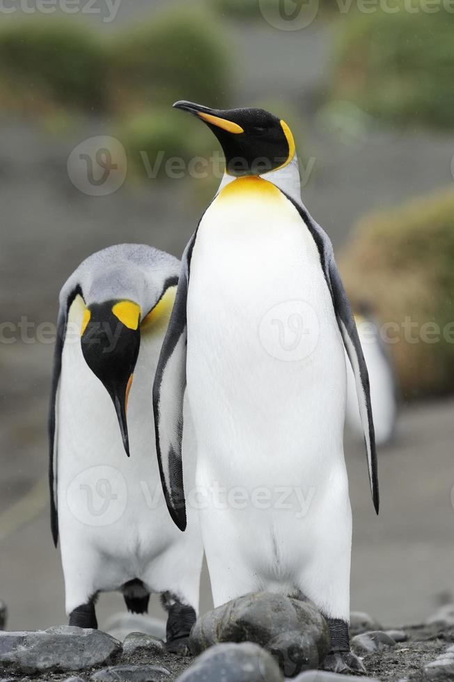 pinguim-rei (aptenodytes patagonicus) foto