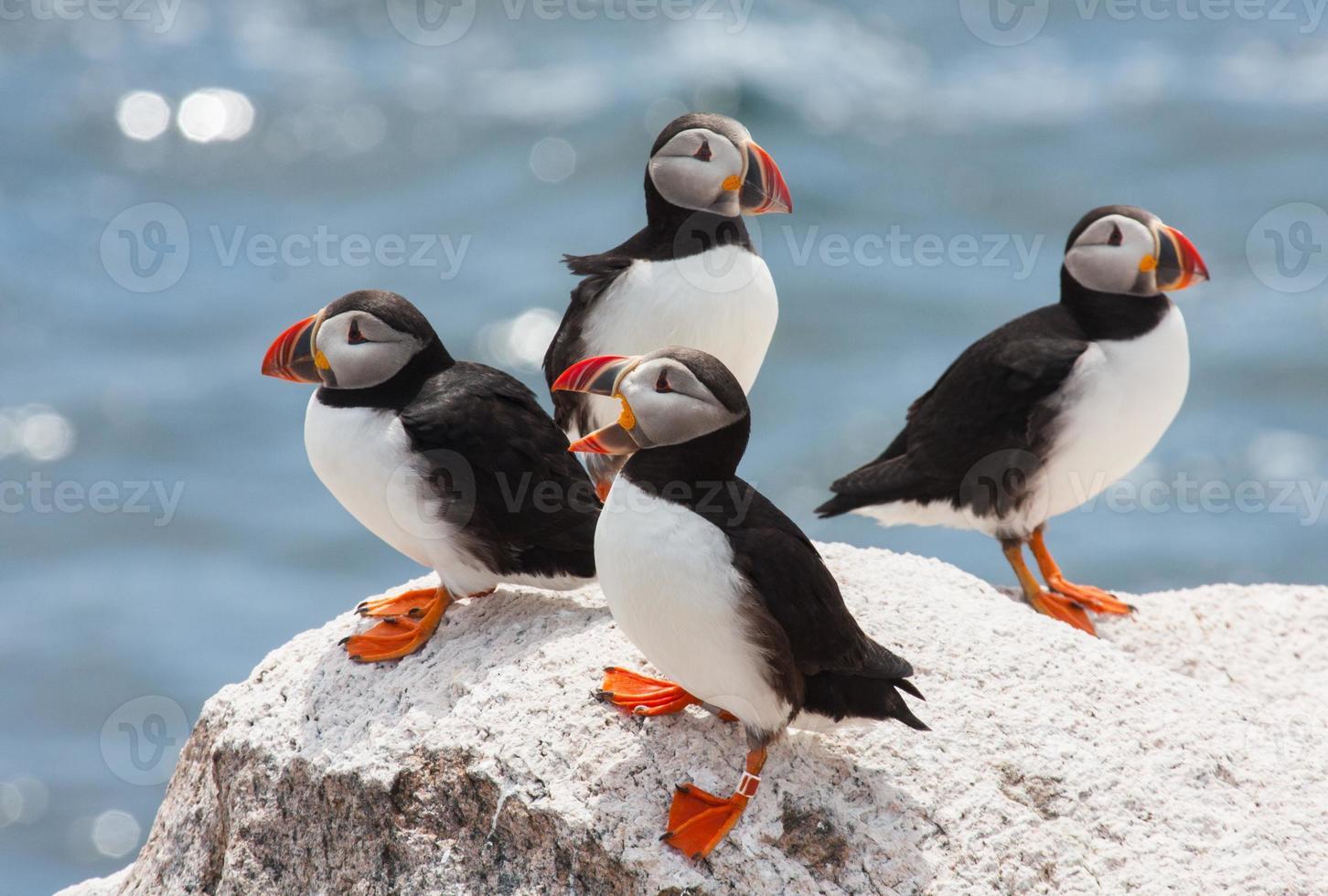 papagaios-do-mar vadiando foto