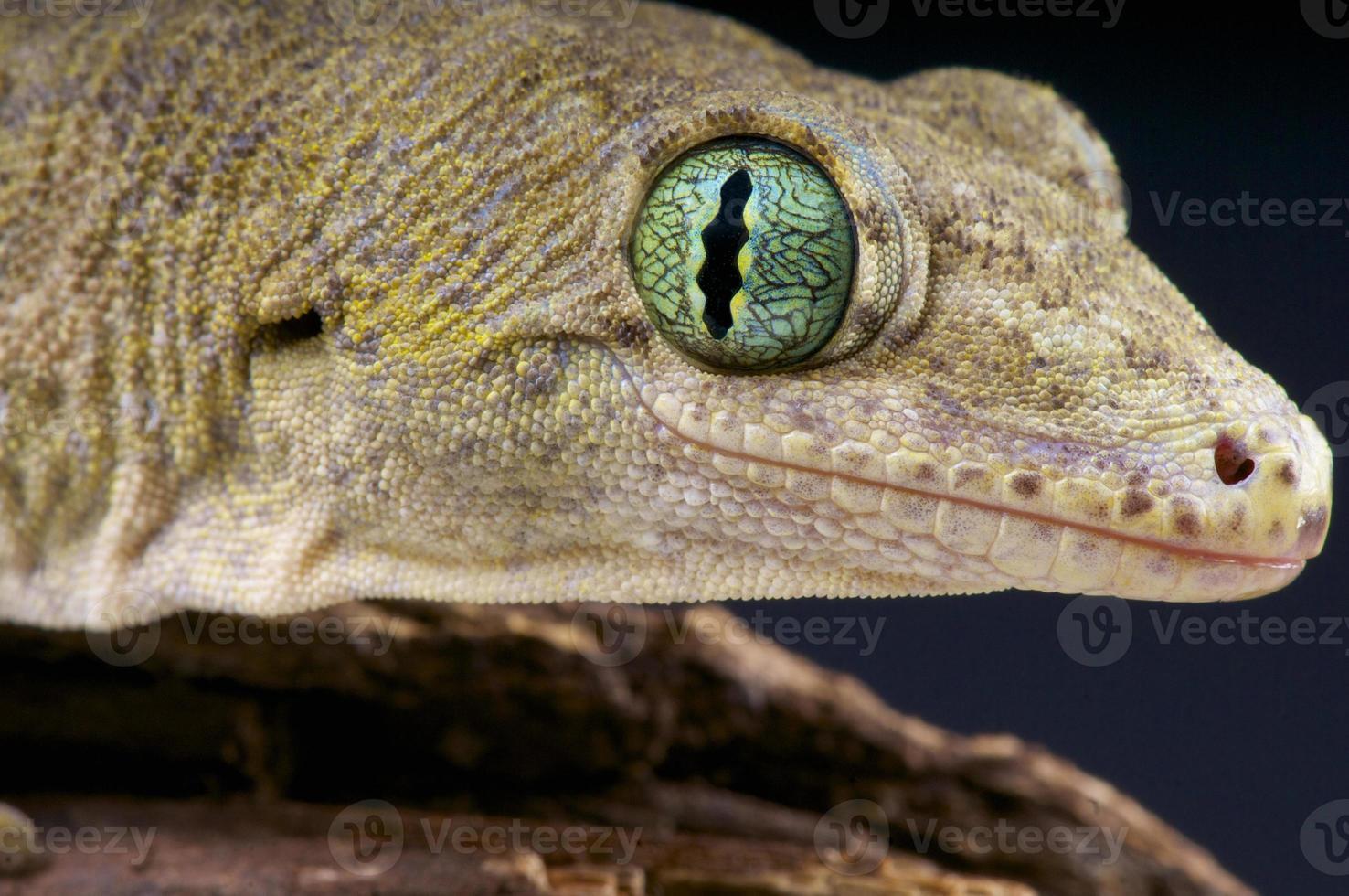 gecko gigante halmahera / gehyra marginata foto
