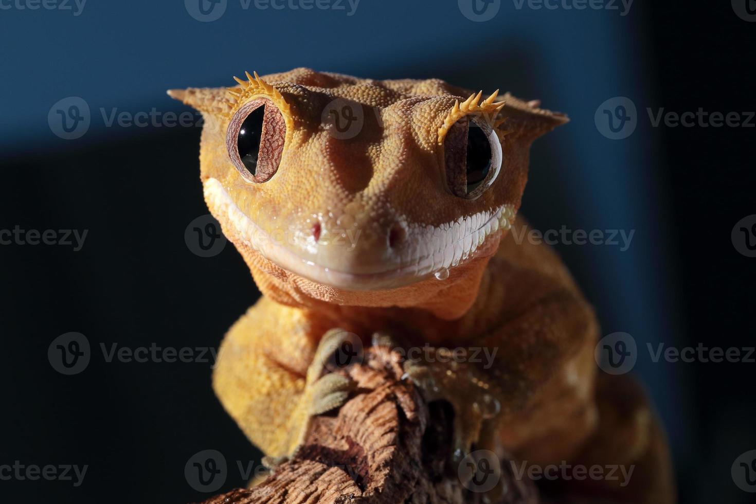 lagartixa criada da Caledônia, olhando para a câmera foto
