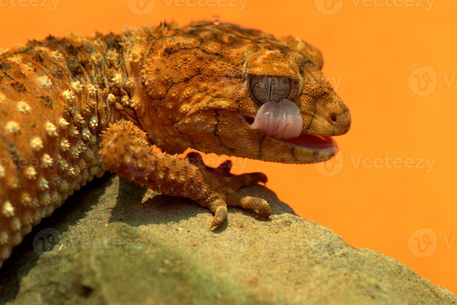 olho lickiing lagartixa foto