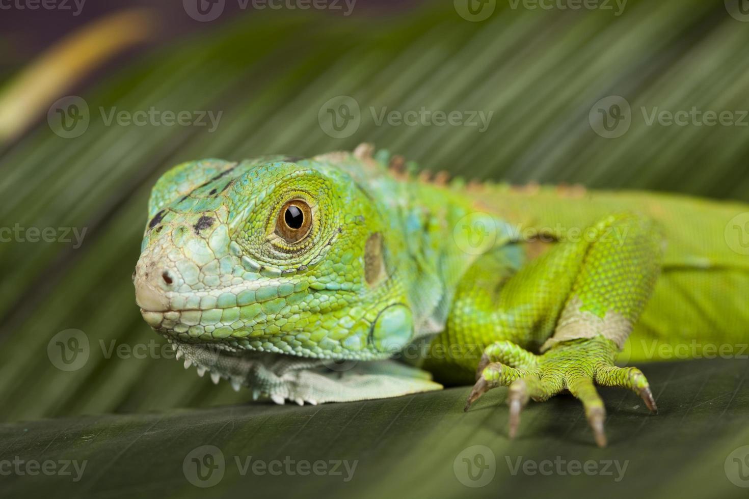 lagarto - iguana foto
