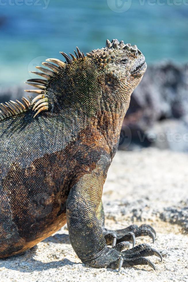 iguana marinha vertical em Galápagos foto