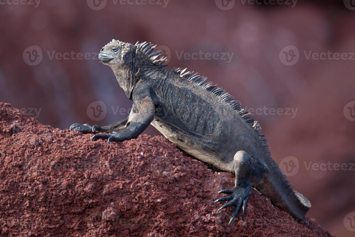 iguana terrestre de Galápagos (vista lateral) nas Ilhas Galápagos foto
