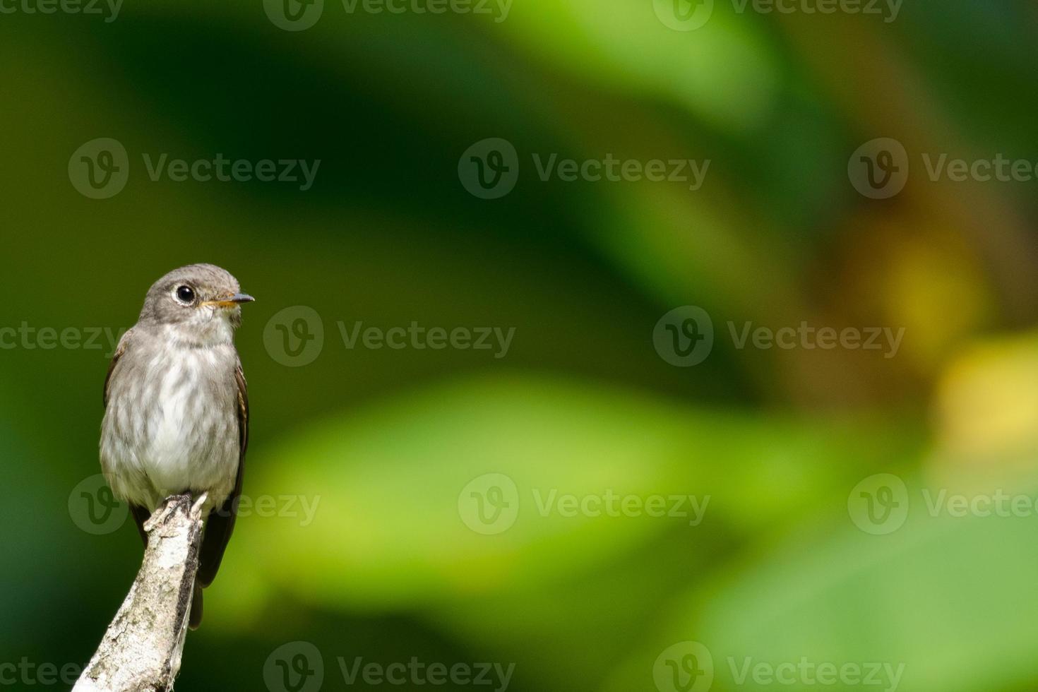 apanhador de mosca da testa foto