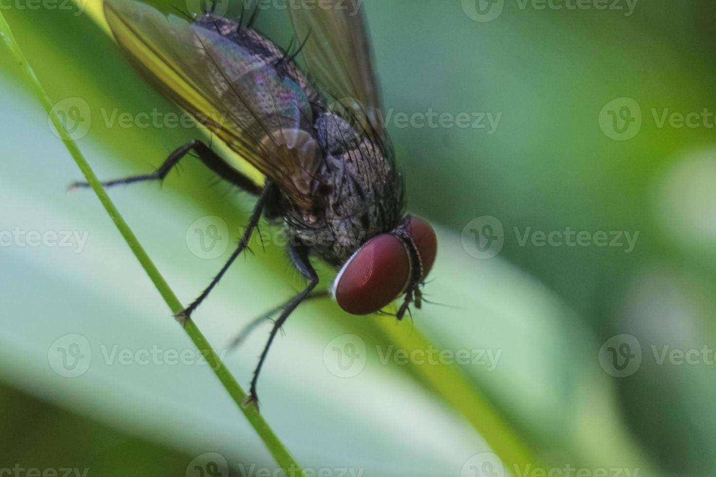 a mosca comum (musca domestica) foto