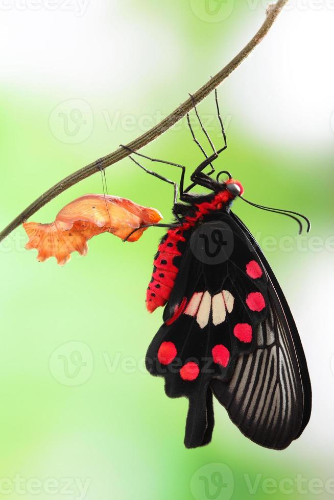 mudança de borboleta crisálida foto