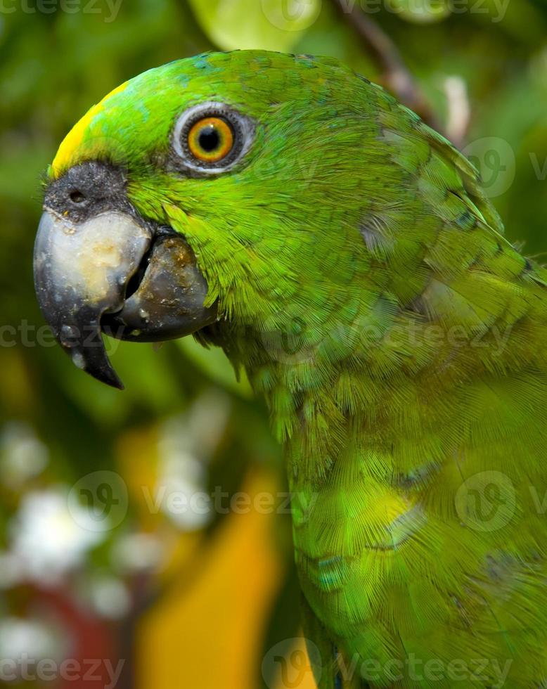olho de papagaio foto