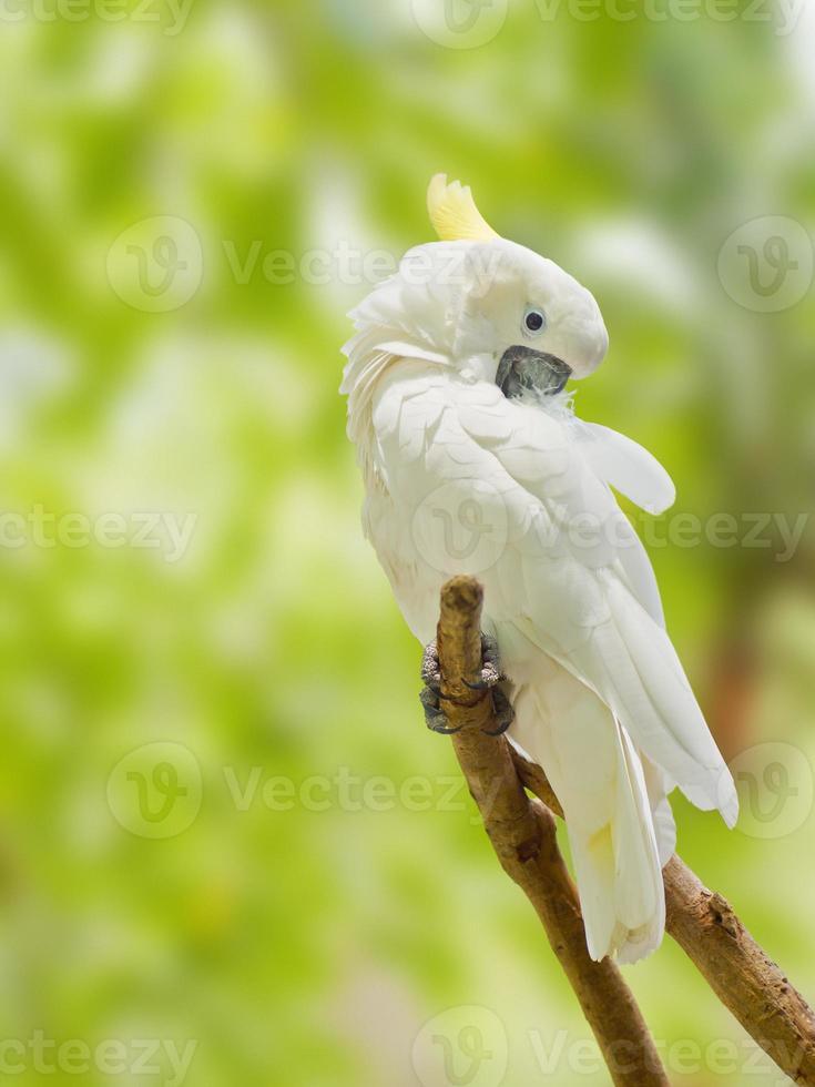 cacatua (cacatua alba) em um galho de árvore morta foto