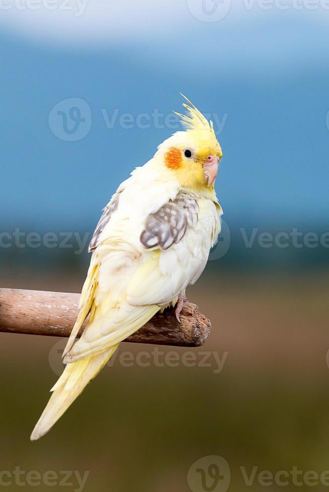papagaio periquito, pássaro foto