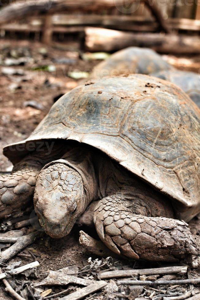 tartaruga rastejando foto