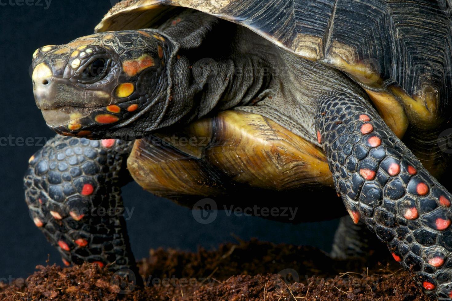 tartaruga-de-patas-vermelhas / chelonoides carbonaria foto