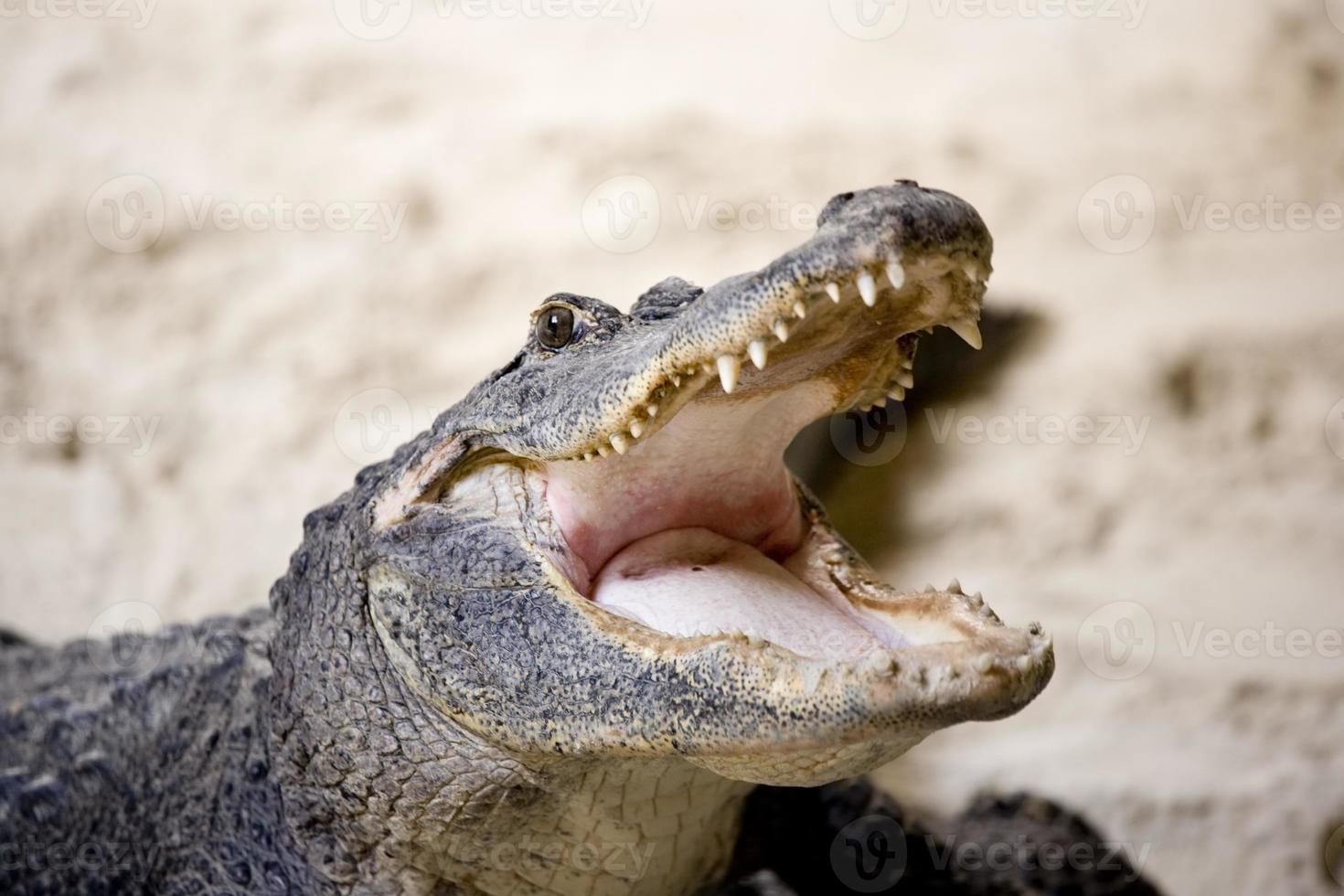 crocodilo australiano foto