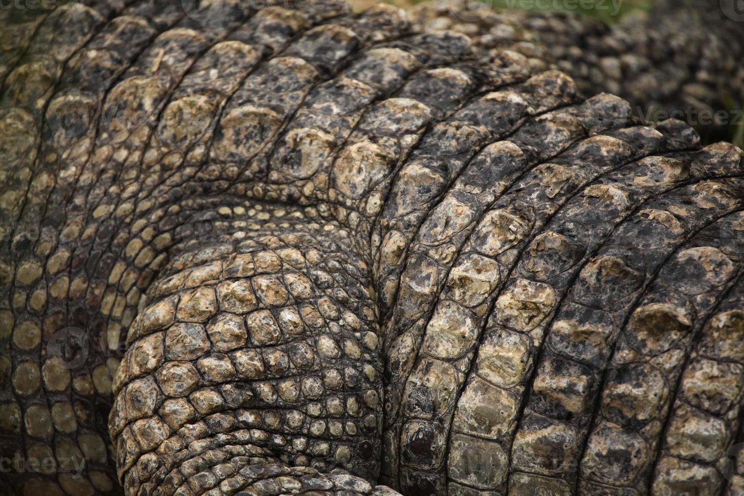 textura de couro de crocodilo do nilo (crocodylus niloticus). foto
