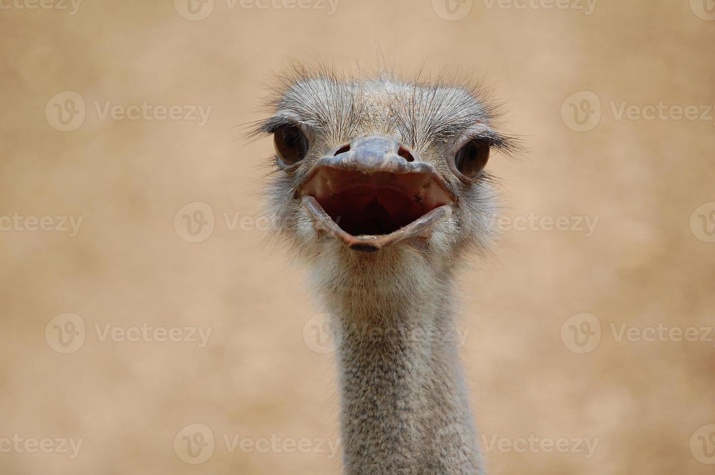 confronto de avestruz foto