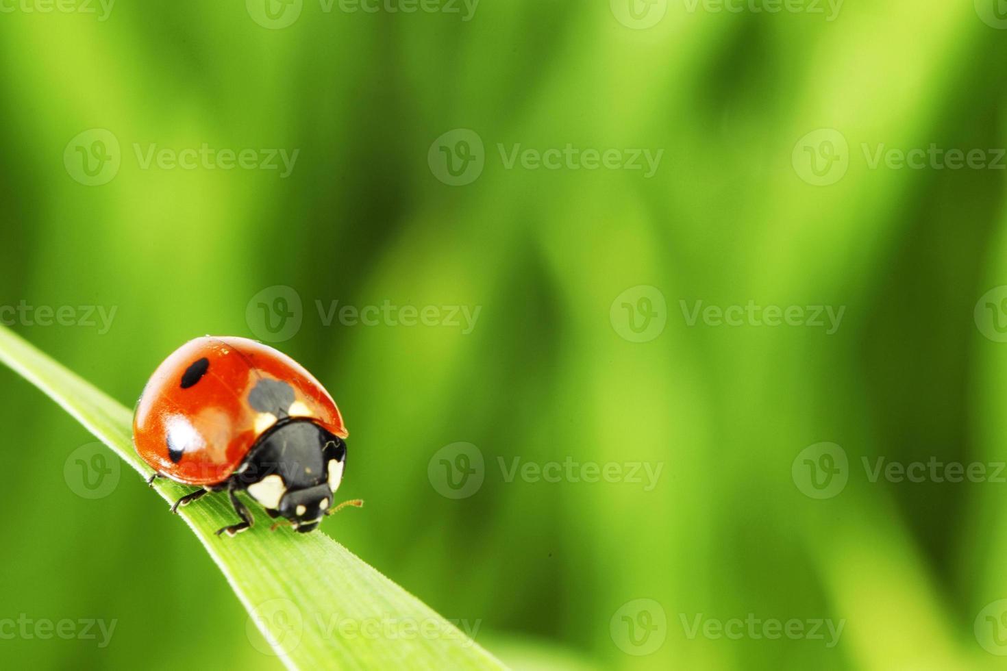joaninha na grama foto