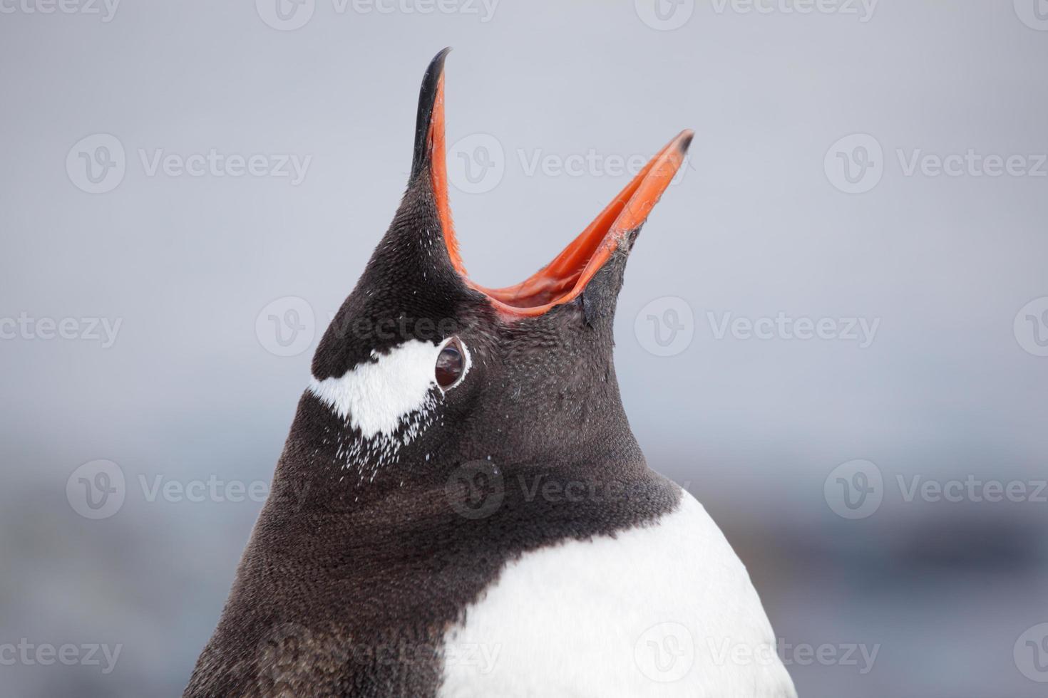 pinguim-gentoo bocejando, antártica foto
