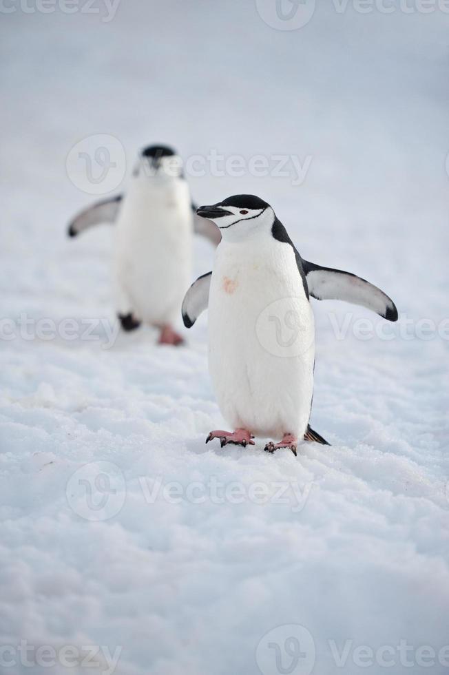 pinguins chinstrap foto