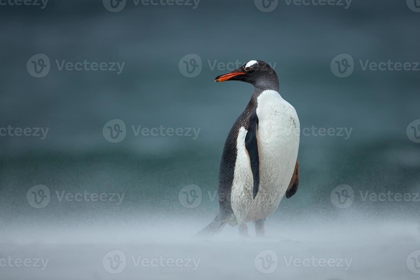 pinguim-gentoo durante uma tempestade de areia foto