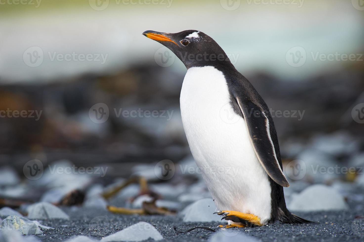 gentoo pinguin (pygoscelis papua) rodando em uma praia rochosa foto