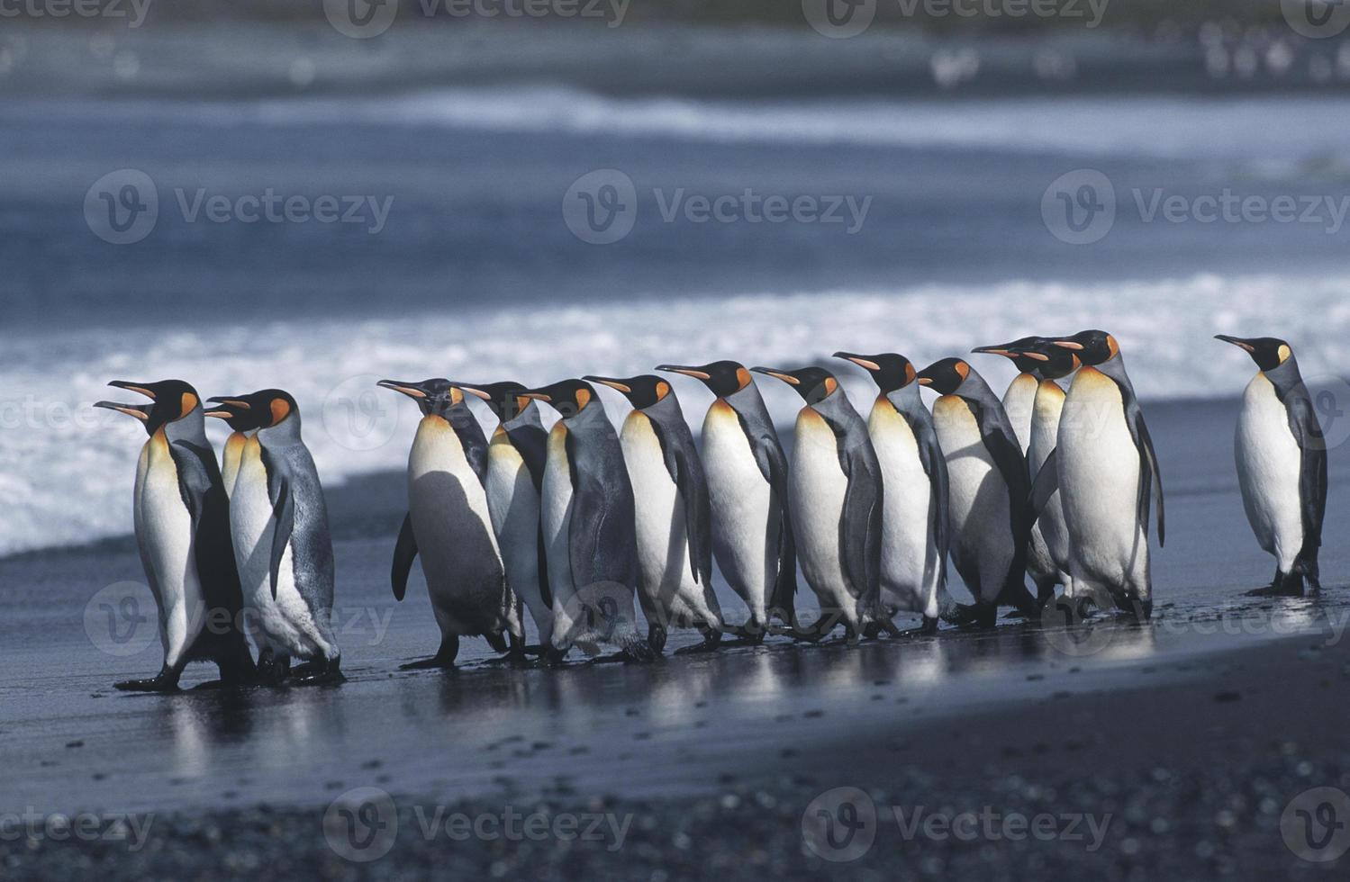 pinguins rei foto