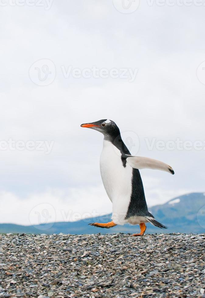 pinguim-gentoo foto