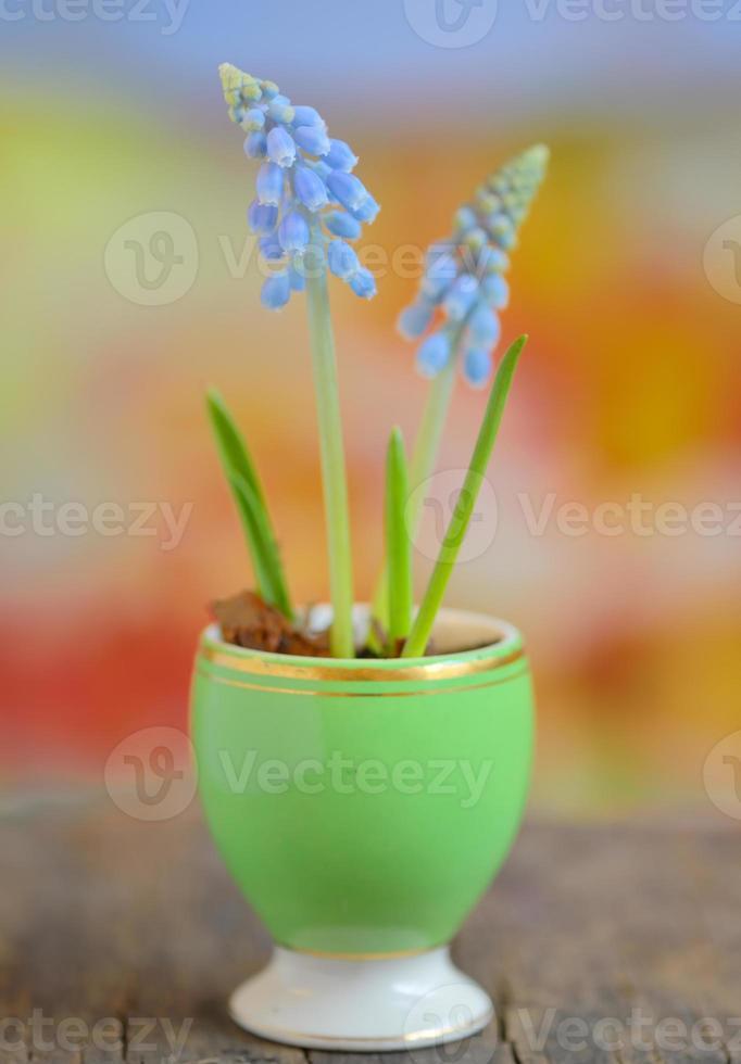 muscari armeniacum flores foto