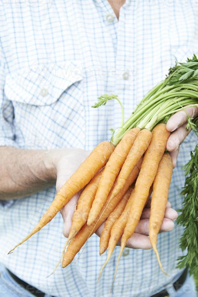 close-up do homem segurando cenouras recém colhidas foto