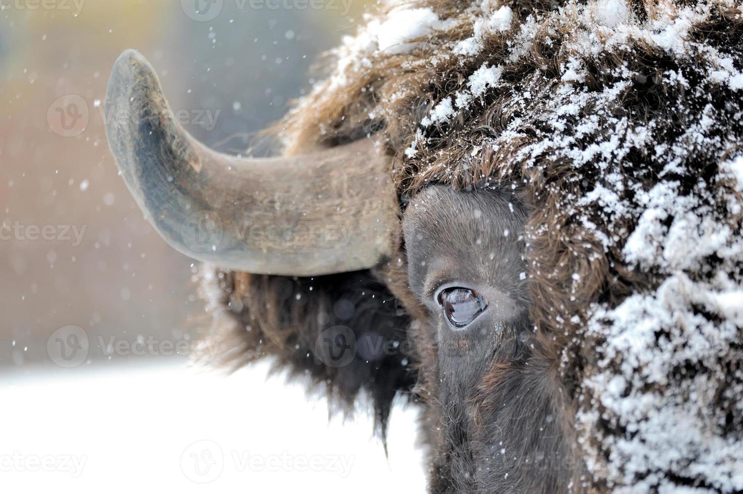 bisonte no inverno foto