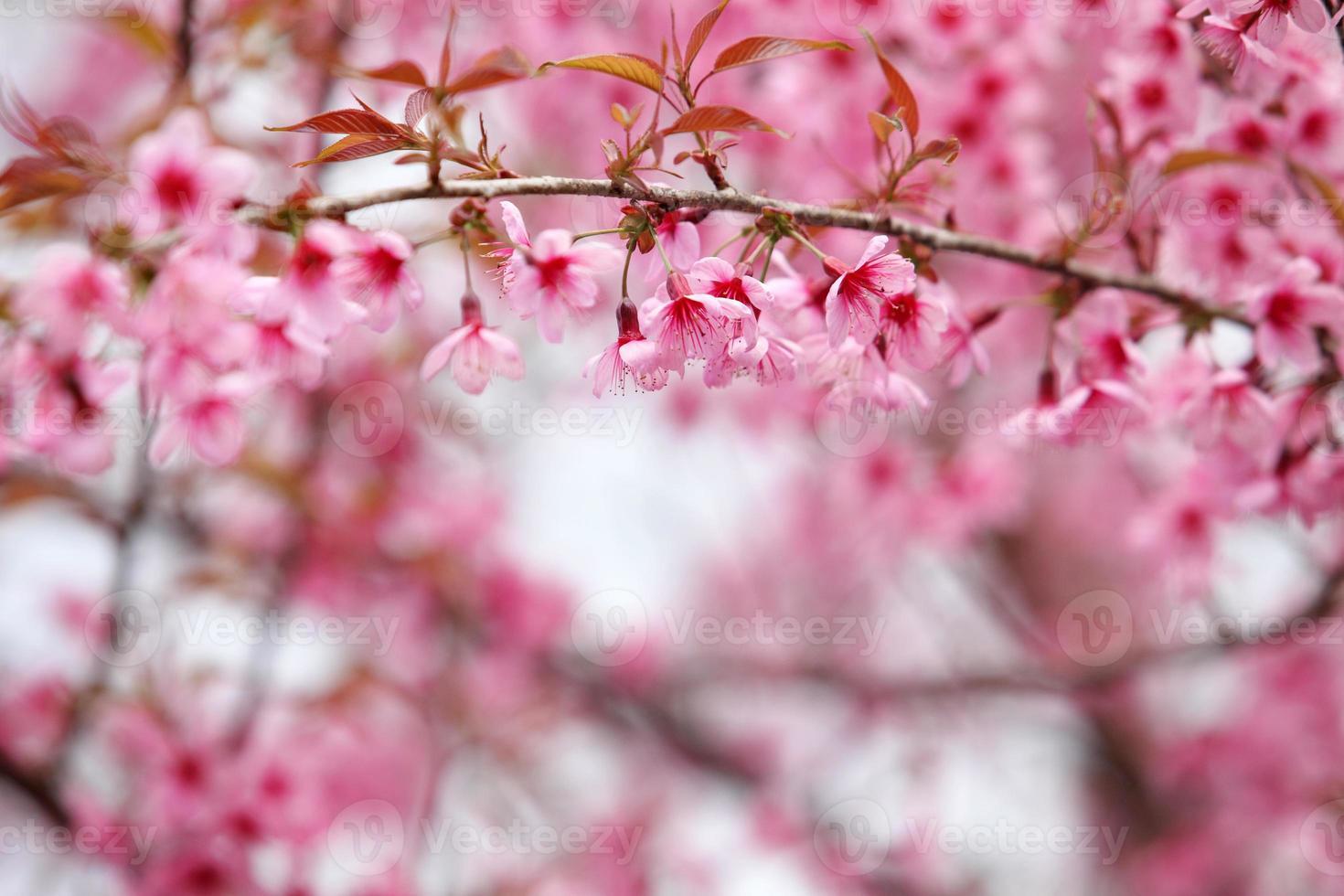 lao sakura na temporada de inverno foto