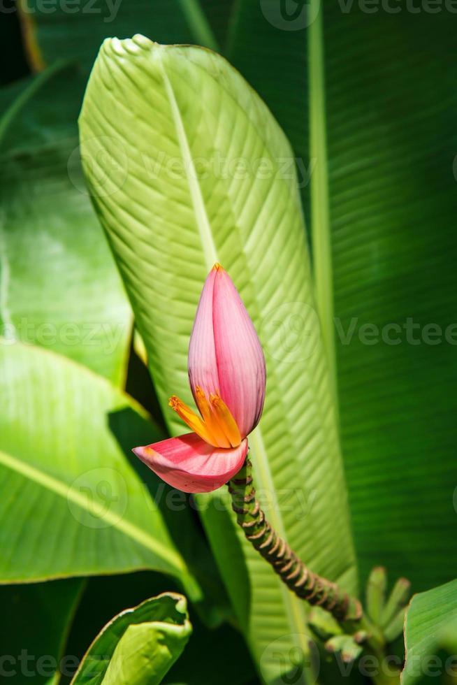 flor de bananeira foto