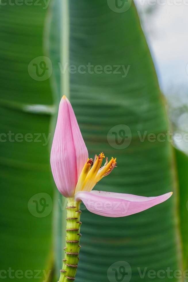 flor de bananeira no jardim foto